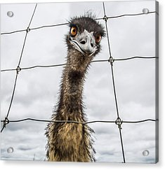 Australian Emu Dromaius Novaehollandiae Acrylic Print by David Trood