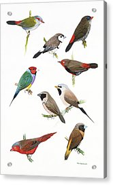 Australian Estrildid Finches Acrylic Print