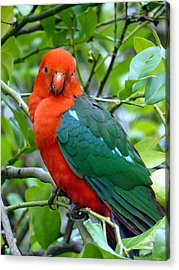 Acrylic Print featuring the photograph Australian King Parrot Portrait by Margaret Stockdale