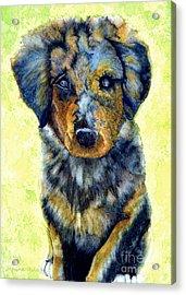 Australian Shepherd Puppy Acrylic Print by Janine Riley