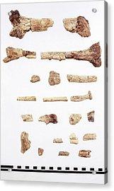 Australopithecus Skeleton Fragments Acrylic Print by John Reader/science Photo Library