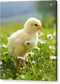 Austria, Baby Chicken In Meadow, Close Acrylic Print by Westend61