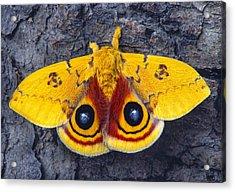 Automeris Io Silk Moth Acrylic Print by Robert Jensen