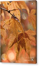 Autumn Acer Acrylic Print by Anne Gilbert