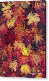 Autumn Acer Leaves Acrylic Print by Tim Gainey