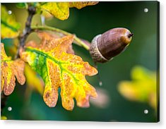 Acrylic Print featuring the photograph Autumn Acorn. by Gary Gillette