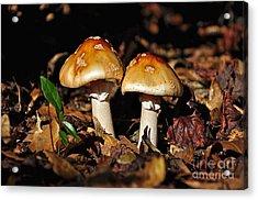 Autumn Amanitas Acrylic Print