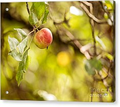 Autumn Apple Acrylic Print by Matt Malloy
