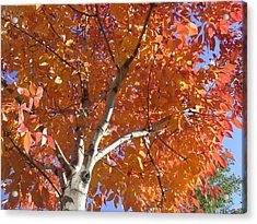 Acrylic Print featuring the photograph Autumn Aspen by Shane Bechler