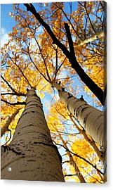 Acrylic Print featuring the photograph Autumn Aspens by Kate Avery