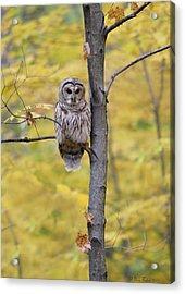Autumn Barred Owl Acrylic Print by Daniel Behm