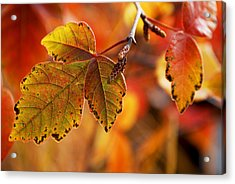 #autumn Acrylic Print by Becky Furgason