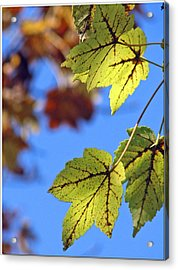 Autumn Bokeh  Acrylic Print by Chris Anderson