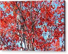 Autumn Brilliance V Acrylic Print by Suzanne Gaff
