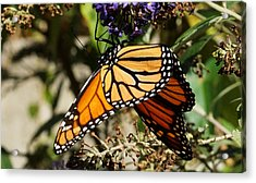 Autumn Butterfly Acrylic Print
