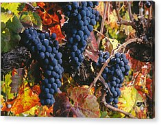 Autumn Cabernet Clusters  Acrylic Print by Craig Lovell