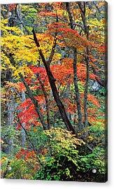 Autumn Color Japan Maples Acrylic Print by Robert Jensen