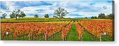 Autumn Color Vineyards, Guerneville Acrylic Print