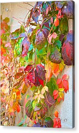 Autumn Colors Of Virginia Creeper Acrylic Print