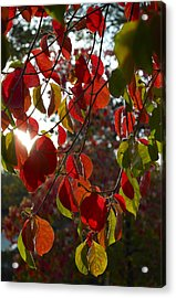 Autumn Dogwood In Evening Light Acrylic Print
