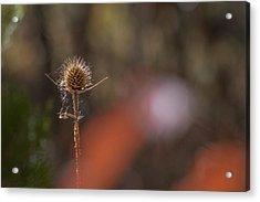 Acrylic Print featuring the photograph Autumn Dry Teasel by Jivko Nakev