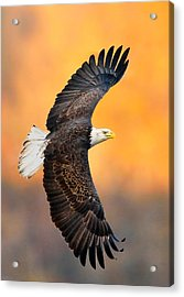 Autumn Eagle Acrylic Print