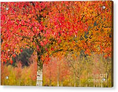 Autumn Fire Acrylic Print by Sonya Lang