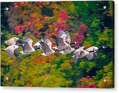 Autumn Flight Acrylic Print by Brian Stevens