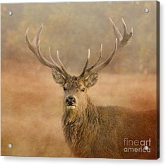 Magnificant Stag Acrylic Print