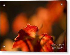 Autumn Grape Leaf Macro Acrylic Print by Charmian Vistaunet