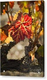 Autumn Grape Leaves Acrylic Print by Charmian Vistaunet