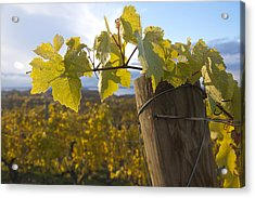 Autumn Grape Leaves Acrylic Print