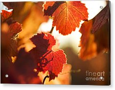 Autumn Grapevine Leaves Acrylic Print by Charmian Vistaunet