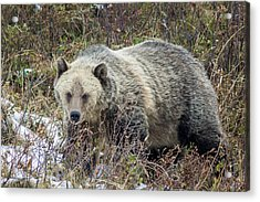 Acrylic Print featuring the photograph Autumn Grizzly by Jack Bell