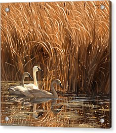 Autumn Light- Trumpeter Swans Acrylic Print
