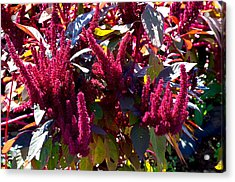 Autumn Magenta Jewel Alstede Farm Acrylic Print
