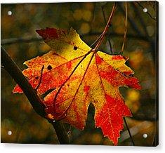 Autumn Maple Leaf Acrylic Print