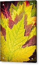 Autumn Maple Leaves Acrylic Print by Adam Romanowicz