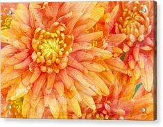 Autumn Mums Acrylic Print by Heidi Smith