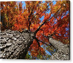 Autumn Nature Maple Trees Acrylic Print by Christina Rollo