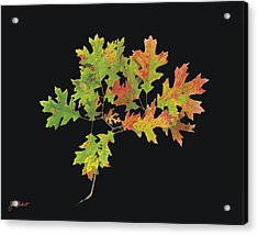 Autumn Oak Leaves Acrylic Print