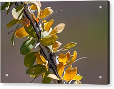 Acrylic Print featuring the photograph Autumn Ocotillo by Beverly Parks
