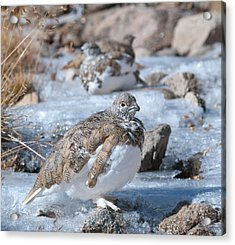 Acrylic Print featuring the photograph Autumn Plumage White-tailed Ptarmigan by Cascade Colors