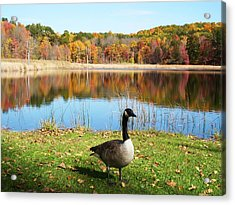 Autumn Pond Goose Acrylic Print by Aimee L Maher Photography and Art Visit ALMGallerydotcom