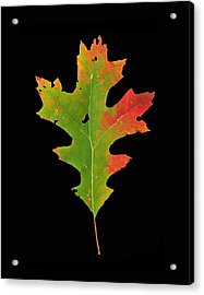 Autumn Red Oak Leaf 1 Acrylic Print
