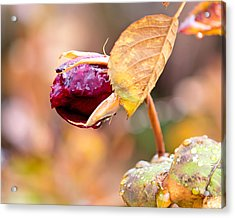 Acrylic Print featuring the photograph Autumn Rosebud by Rona Black