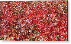Autumn Sumac Acrylic Print by James Hammen