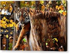 Autumn Tiger Acrylic Print by Elaine Manley