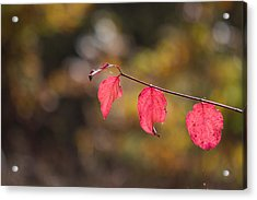 Acrylic Print featuring the photograph Autumn Twig With Red Leaves by Jivko Nakev