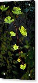 Autumn Vine Acrylic Print